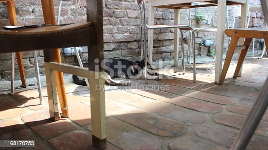 One young male Siberian Husky dog resting under the table in shade in a hot summer day