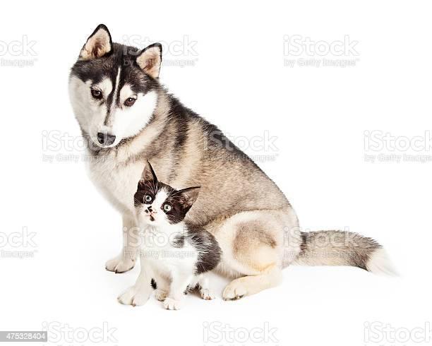 Siberian husky dog sitting with little kitten picture id475328404?b=1&k=6&m=475328404&s=612x612&h=yottprbmusiniaezcczqh6um6tcjzkbzbuwtlzlrwfa=
