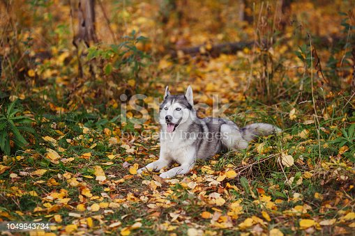 Siberian husky dog with blue eyes lying and looks. Autumn forest background with yellow leaves