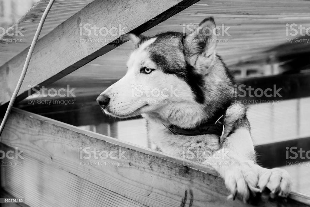 siberian husky in elegant pose stock photo
