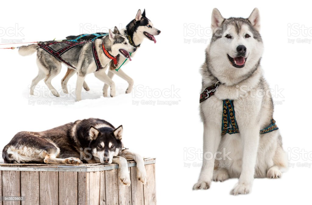 Siberian Husky In Front Of A White Background Stock Photo & More ...