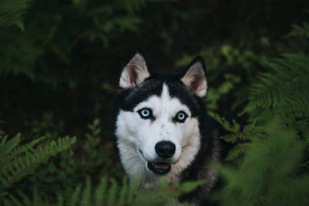 Sibirischer Husky in der Natur – Foto