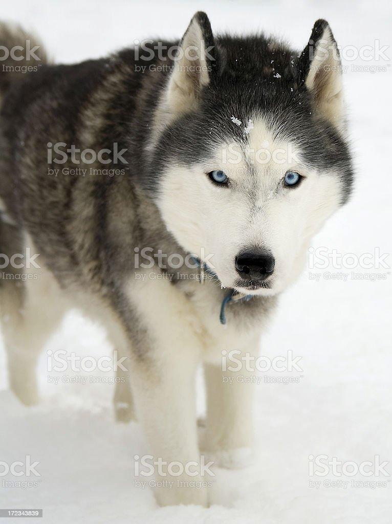 Siberian Husky in Snow royalty-free stock photo