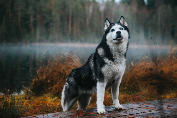Siberian Husky in the fog Siberian husky dog on the shore of a foggy lake husky dog stock pictures, royalty-free photos & images