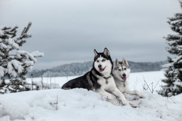Siberian Husky in winter snow Siberian Husky in winter snow husky dog stock pictures, royalty-free photos & images