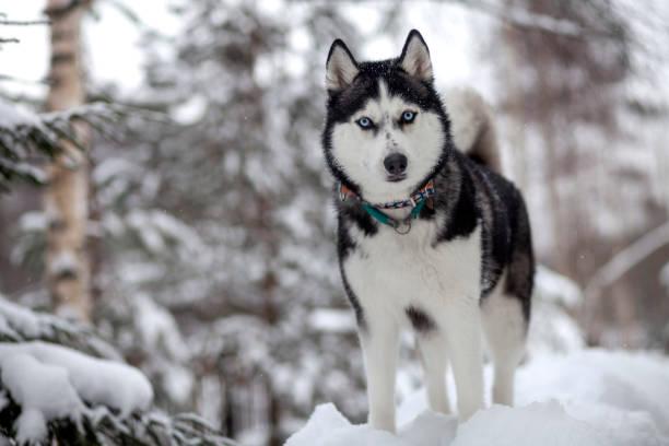 Sibirischer Husky im Winterschnee – Foto