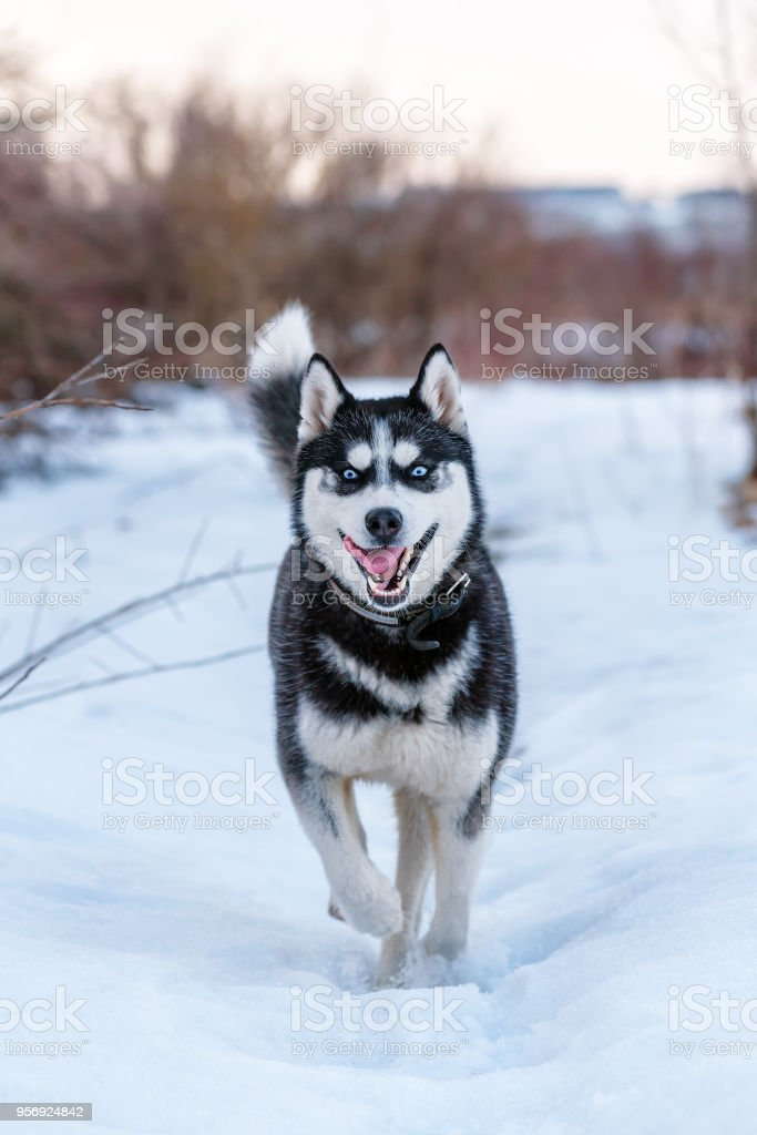 Siberian Husky is runing on the snow stock photo
