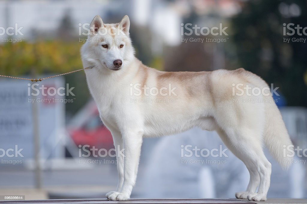 Siberian husky light red and white colors portrait royalty-free stock photo