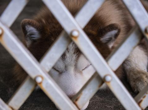 Siberian Husky Lying