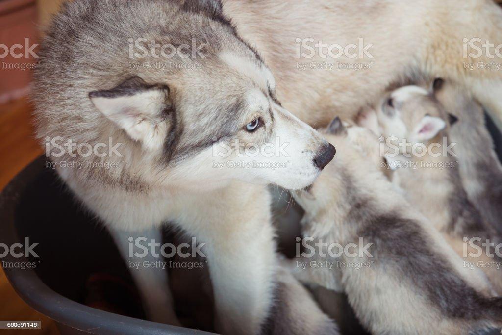 Siberian husky. Mother breastfeeding puppies. royalty-free stock photo