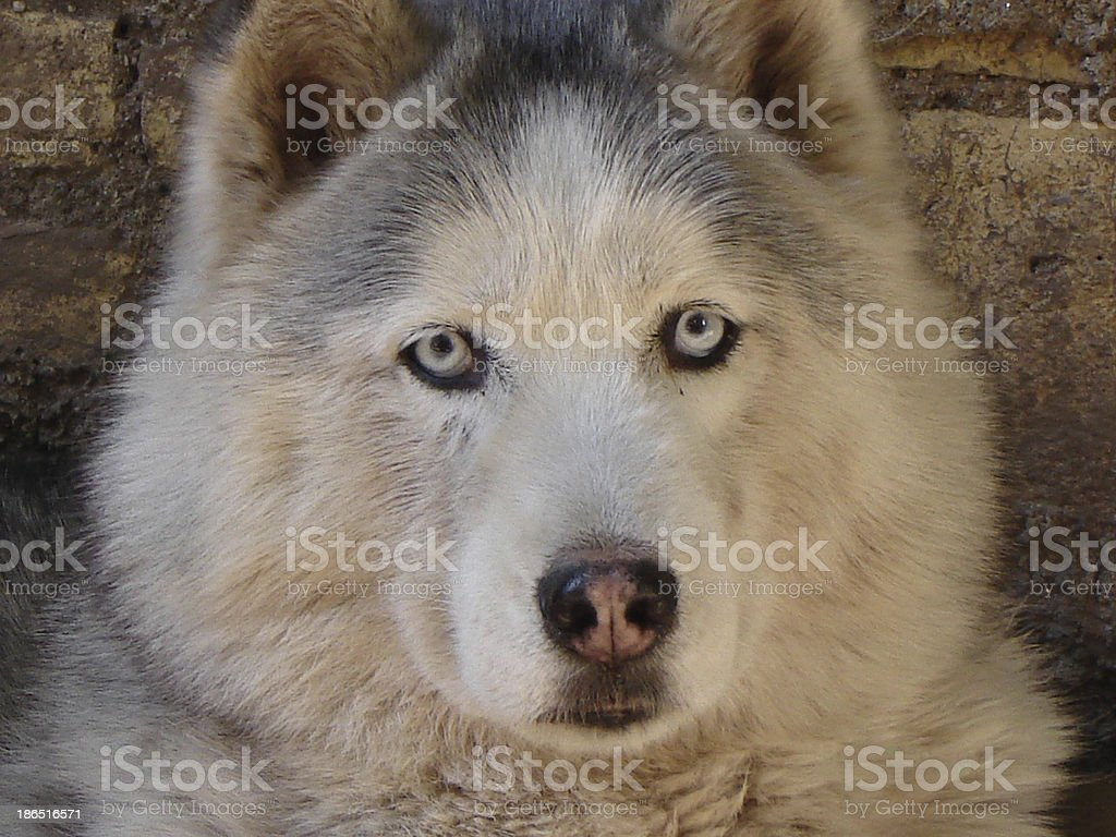 siberian husky royalty-free stock photo