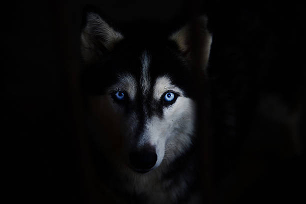 siberian husky Siberian husky face on a black background. sled dog stock pictures, royalty-free photos & images