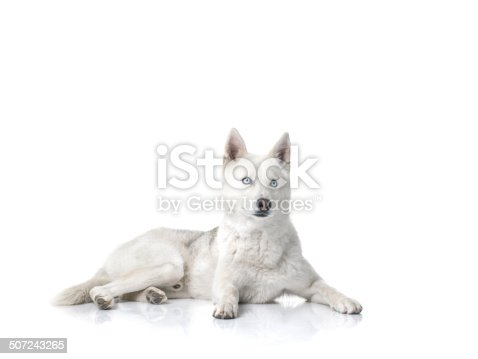 Siberian husky on isolated white background