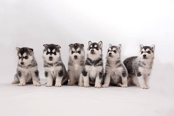 Siberian Husky Puppies stock photo