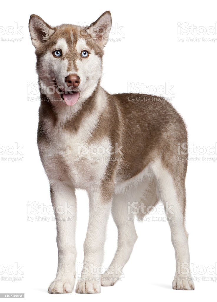 Siberian Husky Puppy 4 Months Old Standing White Background Stock ...