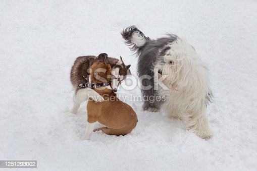 Siberian husky puppy, amstaff puppy and bobtail sheepdog are playing in the winter park. Pet animals. Purebred dog.