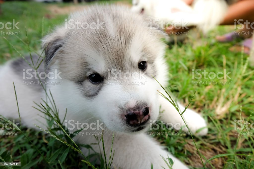Siberian Husky Puppy Close Up On Background Stock Photo More
