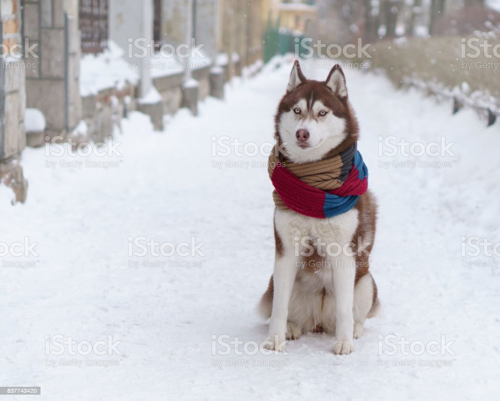 Siberian Husky Puppy Dog Wearing Red Brown Scarf Sitting On Snow