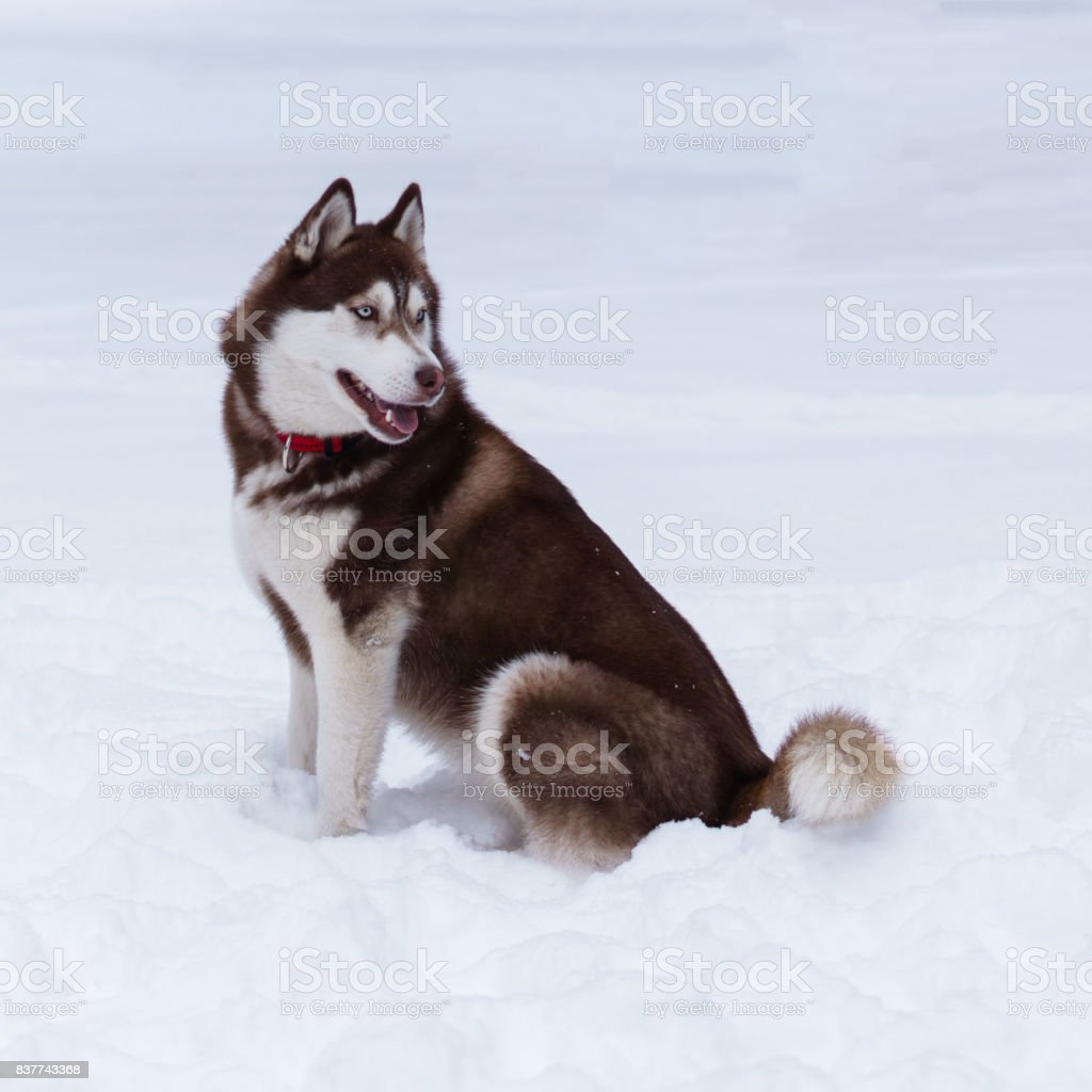 Siberian Husky Puppy Dog Wearing Red Collar Sit On Snow Stock Photo