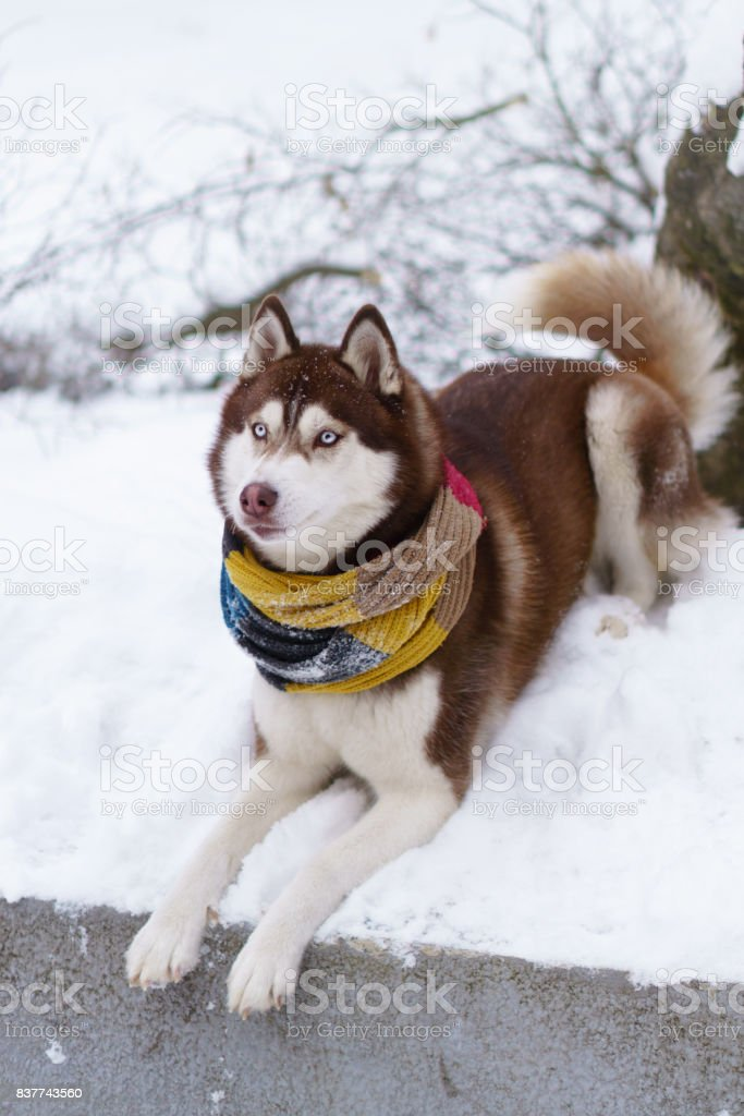 Siberian Husky Puppy Dog Wearing Red Yellow Brown Scarf Sitting On