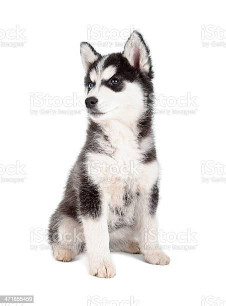 Siberian husky puppy picture id471855459?b=1&k=6&m=471855459&s=612x612&h=2dshjxjzwkpa kcv1hw8vnlwuat9zprgbofnq4mafzk=