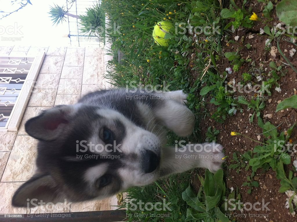 Siberian Husky Puppy Stock Photo Download Image Now Istock