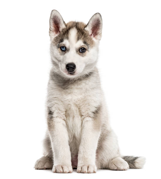 Siberian Husky puppy sitting, isolated on white Siberian Husky puppy sitting, isolated on white sled dog stock pictures, royalty-free photos & images