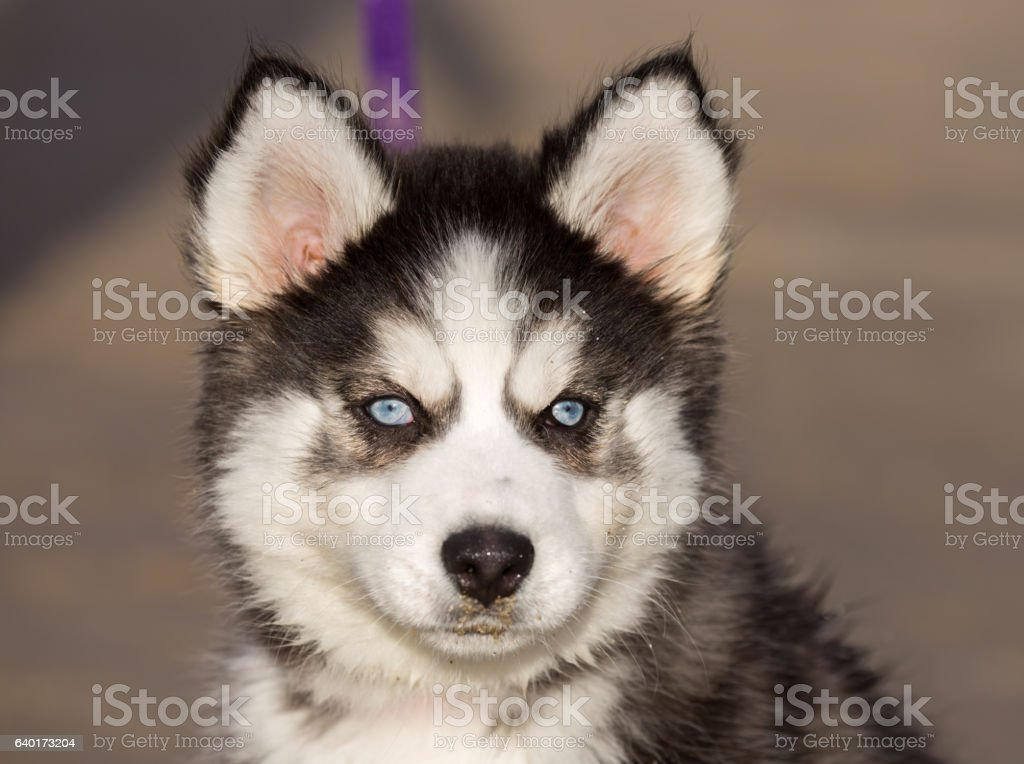 Siberian Husky Puppy With Blue Eyes Stock Photo Download Image Now Istock