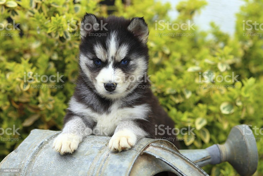 Siberian Husky Resting His Paws on a Watering Can royalty-free stock photo