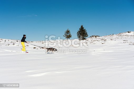Young Siberian husky training in the mountains with his owner, pulling her down the snowy mountain hill