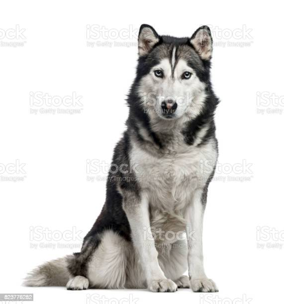 Siberian husky sitting 4 years old isolated on white picture id823776282?b=1&k=6&m=823776282&s=612x612&h=1ok11waj8wm36okx2d9mxob2oeikfjk5kjvxdgzqzty=