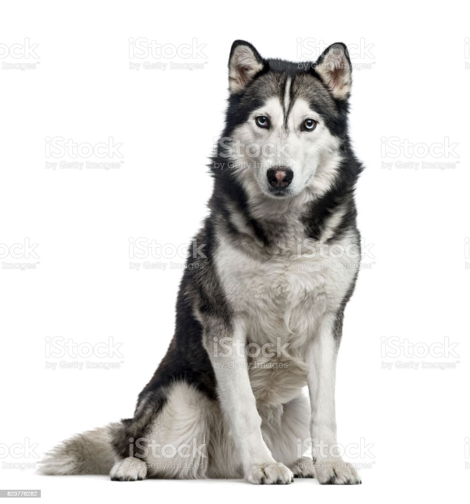 Siberian Husky sitting, 4 years old , isolated on white стоковое фото