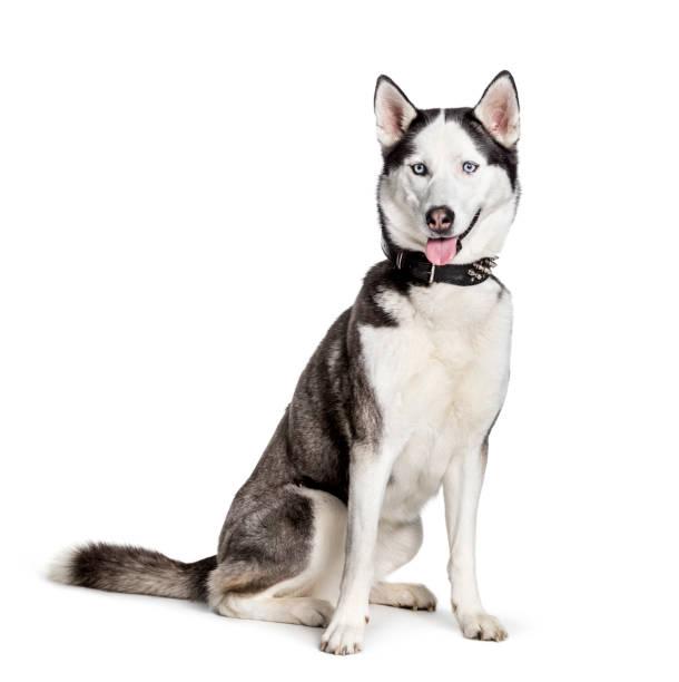 Siberian husky sitting against white background picture id1154953164?b=1&k=6&m=1154953164&s=612x612&w=0&h=wkummrcym knbcd s5ud efnzvzsdox3u3iotxyxhvs=
