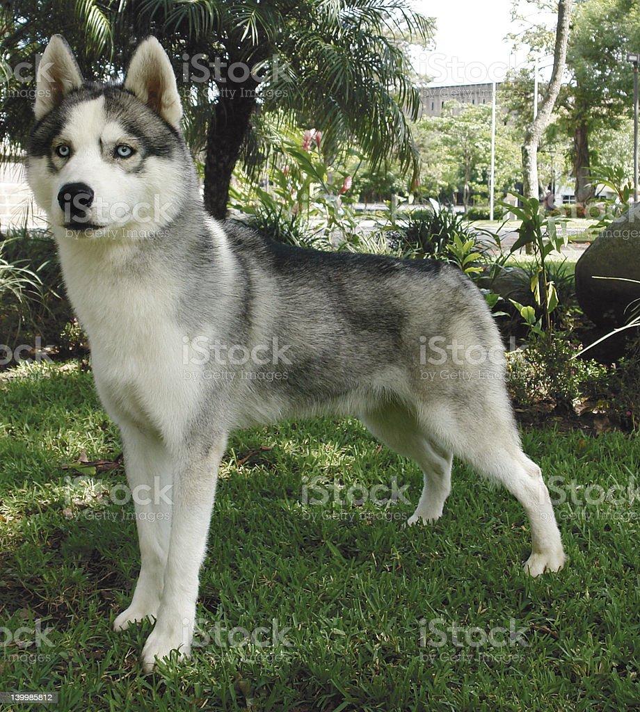 Siberian husky standing stock photo