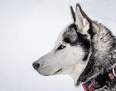 istock Siberian Husky - winter walk through the snowy valley 1303375438