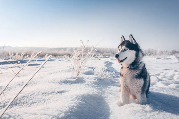 Siberian husky with blue eyes sits on the snow Siberian husky with blue eyes sits on the snow and looks forward husky dog stock pictures, royalty-free photos & images