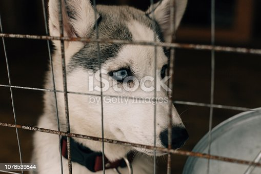 Eye, Sled Dog, Dog, Head, Animal