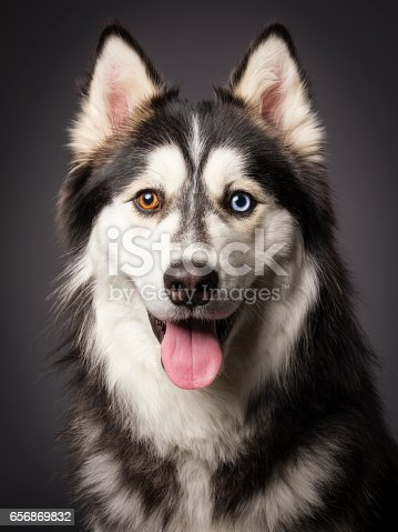 A close-up of a happy Siberian Husky dog with heterochromia (differing colored eyes), looking directly at the camera.