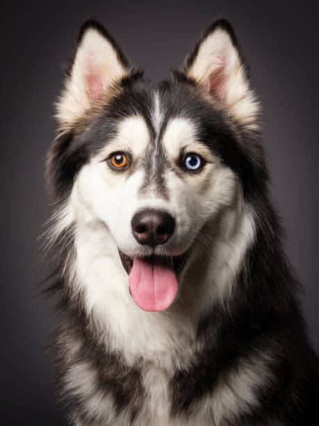 Siberian Husky with Heterochromia A close-up of a happy Siberian Husky dog with heterochromia (differing colored eyes), looking directly at the camera. husky dog stock pictures, royalty-free photos & images