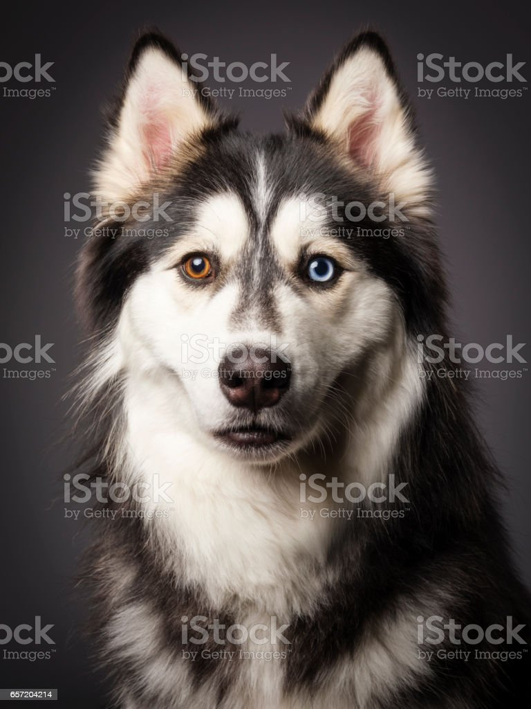 Siberian Husky with Heterochromia stock photo