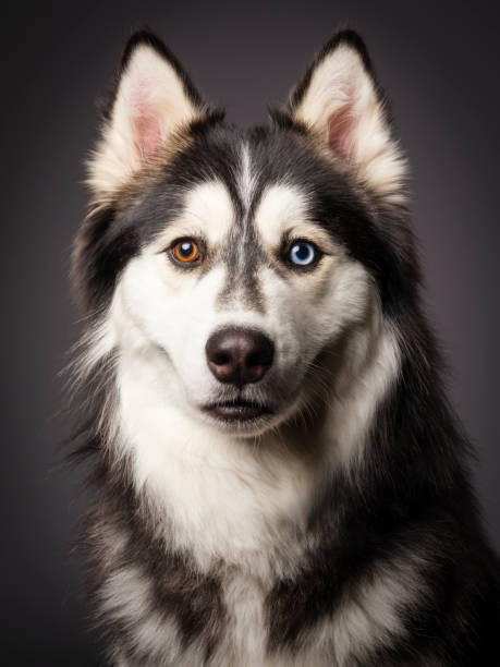Siberian Husky with Heterochromia stock photo