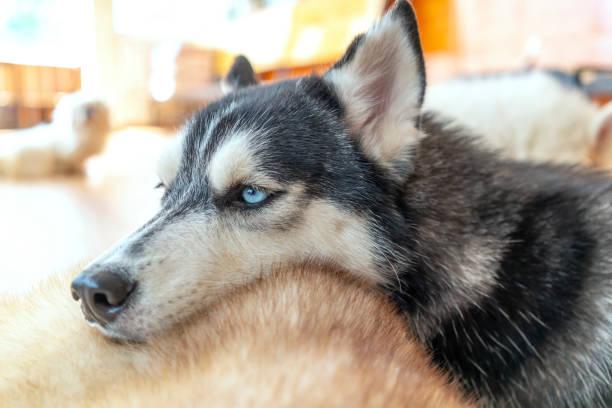 Sibirischer Husky mit hypnotisierenden Augen in domestiziertem Haustier. – Foto
