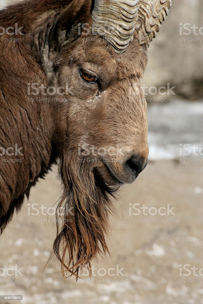 Siberian Ibyx royalty-free stock photo