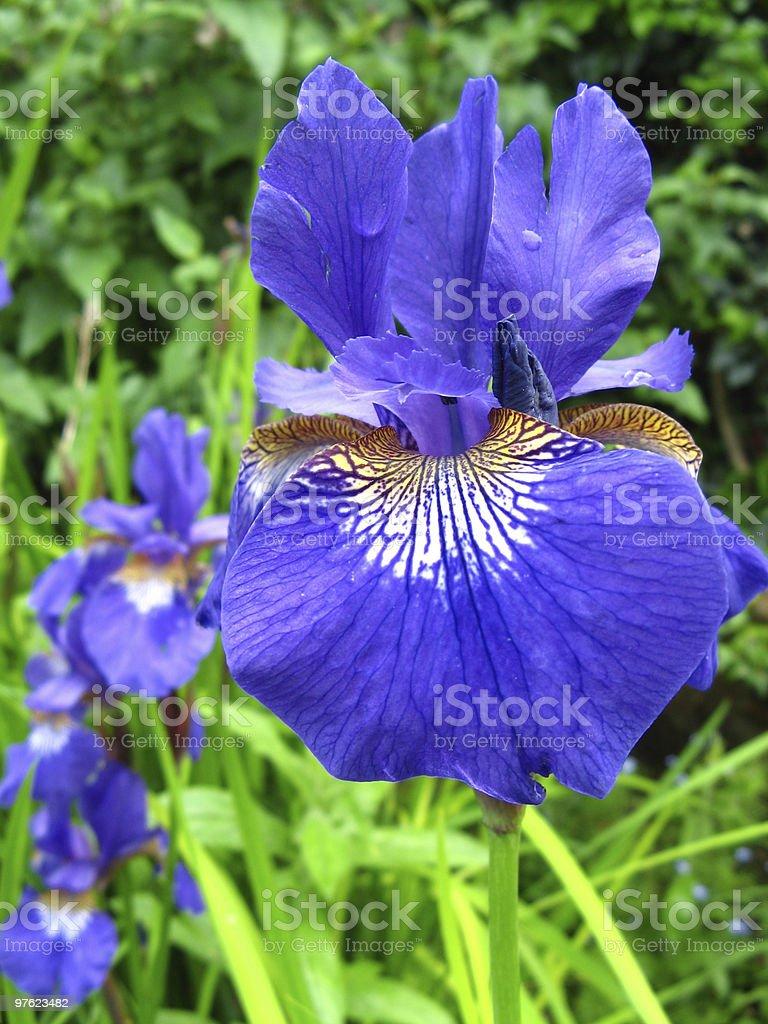 Siberian Iris Garden royalty-free stock photo