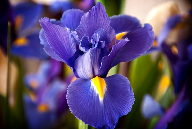 siberian iris - iris flower stock photos and pictures