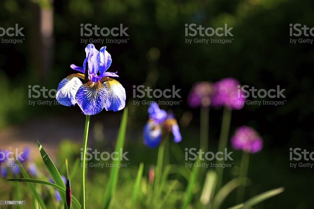 siberian iris royalty-free stock photo