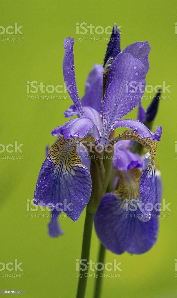 Siberian Iris stock photo