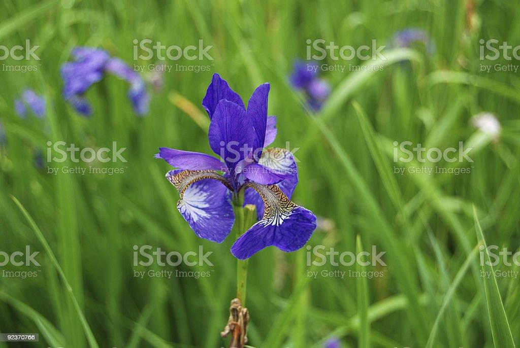 Siberian Iris royalty-free stock photo