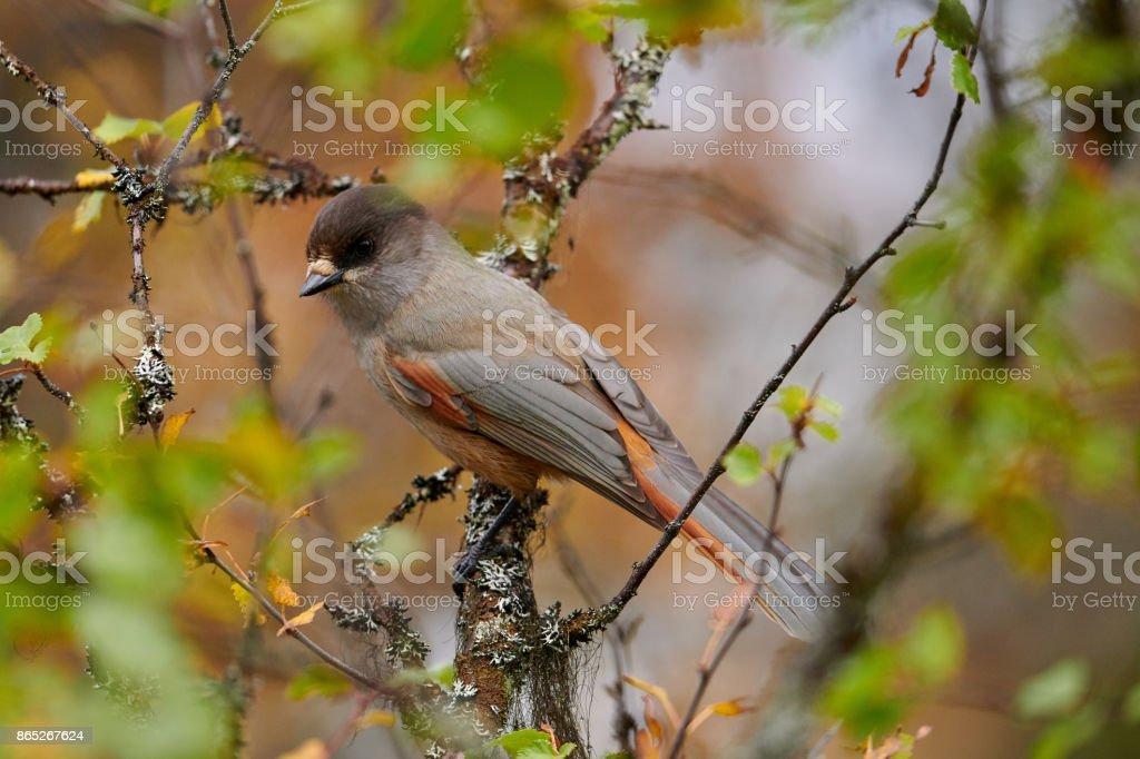 Siberian Jay stock photo