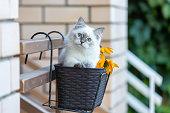 Siberian kitten sitting in a basket with flowers in the garden